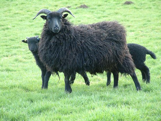 Breed Description - The Hebridean Sheep Society