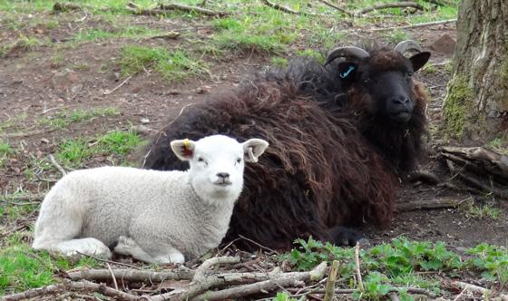 Commercial Flocks - The Hebridean Sheep Society