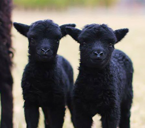 New Owners - The Hebridean Sheep Society